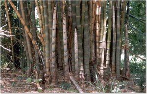 bambu tigre