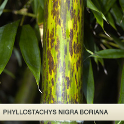 nigra boriana