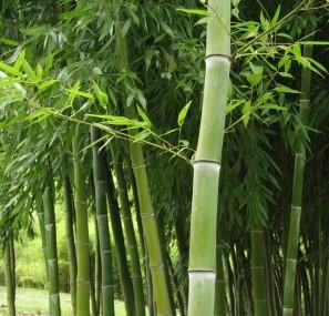Coltivare Bamb Gigante In Italia.Bambu Gigante Guadagni E Business Coltivazione