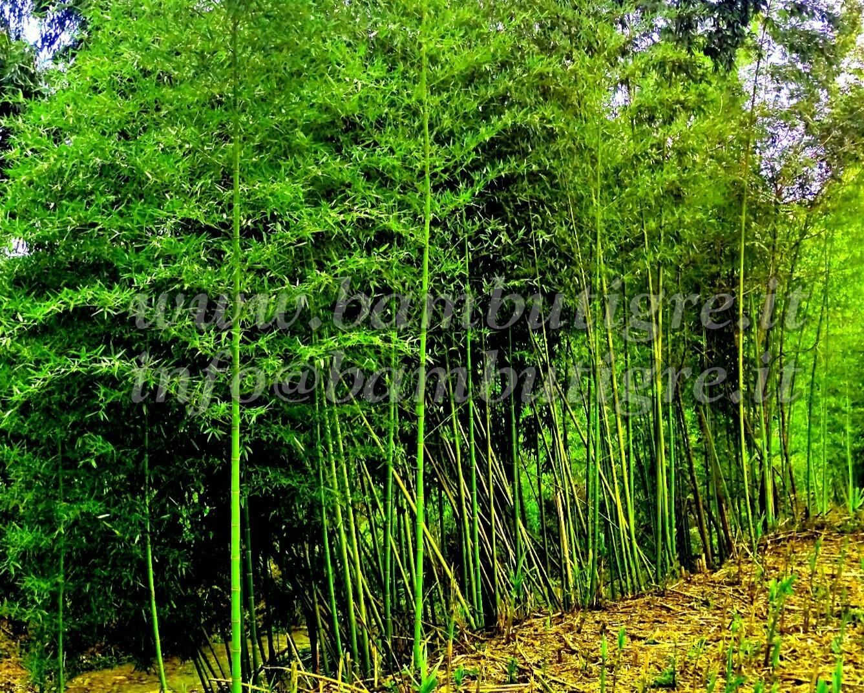 Bamb gigante coltivazione e investimento in italia for Prezzi bambu giganti