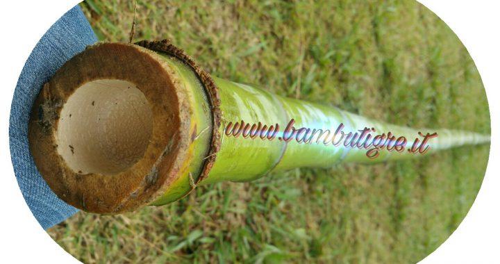 Bamb gigante guadagni e business coltivazione bambutigre for Semi bambu gigante
